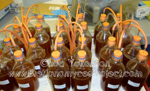 Brettanomyces fermentations